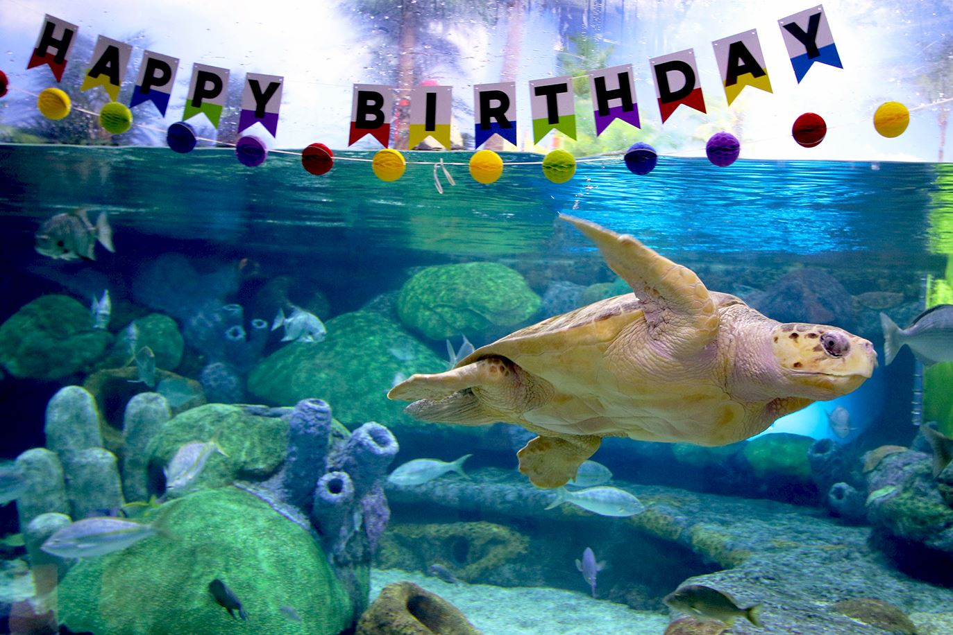 Loggerhead sea turtle birthday
